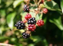 Important Things To Know About Blackberry - A to Z Fruit & Veg