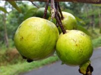 Important Things To Know About Guava